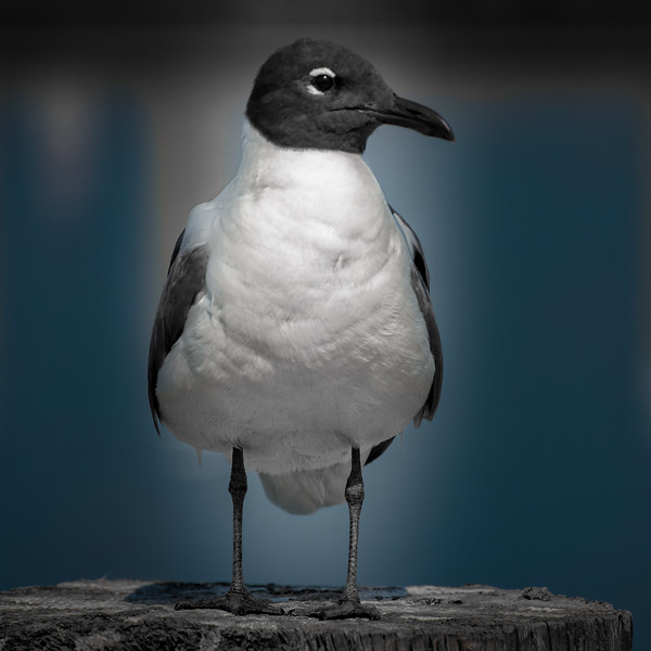 Laughing Gull on the Waterfront