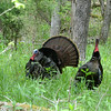 Wild Turkey, Cades Cove, Smoky Mountain NP