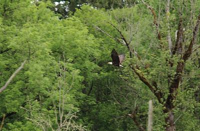 Bald Eagle, 2015