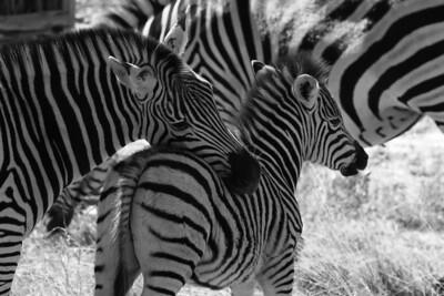 Zebra mother and baby Linyanti Swamp, Botswana