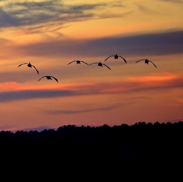 Canada Geese, Noxubee Wildlife Refuge