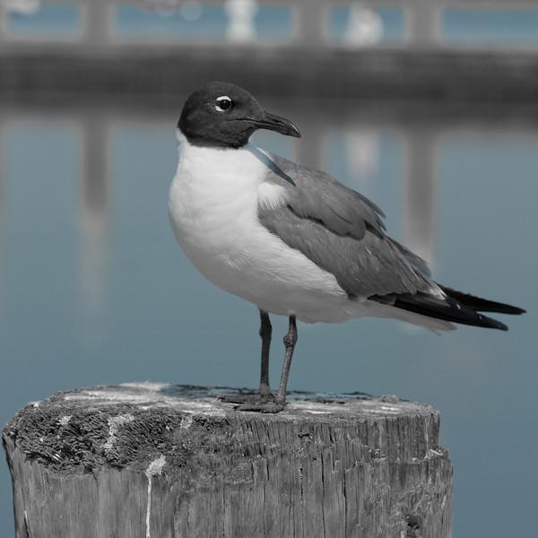 Laughing Gull in Fernandina Beach