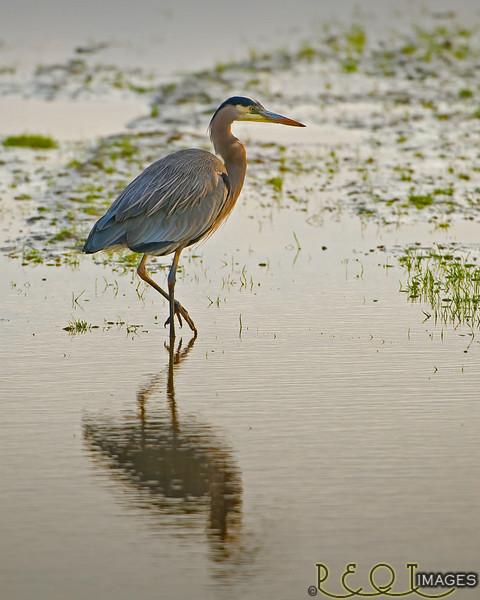 Fir island Great Blue Heron.