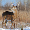 12 point Whitetail buck