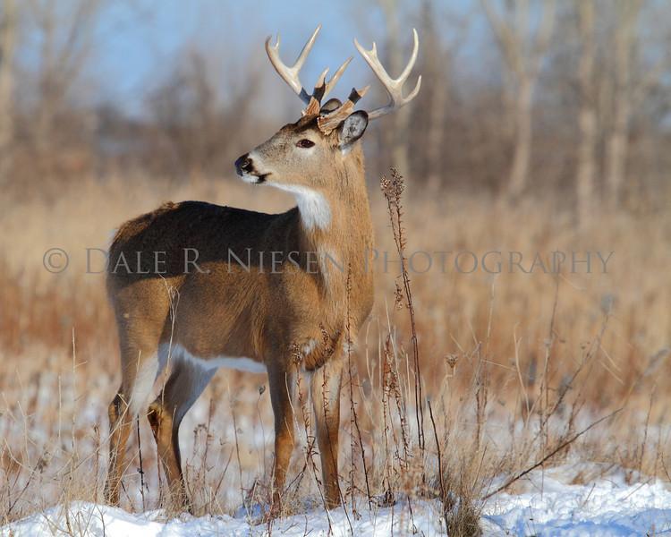 12 point Whitetail buck