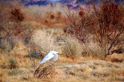 Immature Snowy Egret (Nevada)