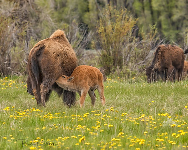 """Red dog"" nursing - Grand Teton bison herd - Spring 2015"