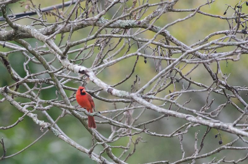 Cardinal in Jacksonville Beach