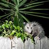 Opossum in Jacksonville Beach
