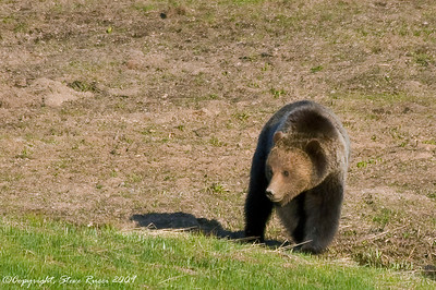 Grizzly bear - Yellowstone National Park