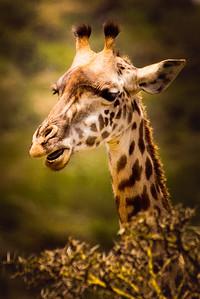 Giraffe 7036