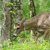 Spring Buck