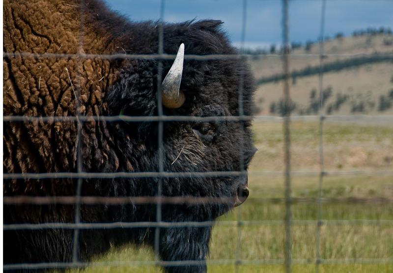 Wild Buffalo in Hartsel, Colorado