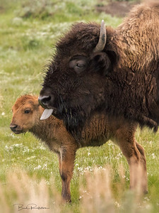 Mom and baby bison