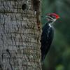 Pileated Woodpecker in Jacksonville Beach