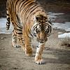 Tiger 0011