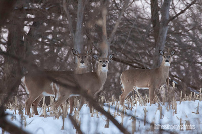 Whitetail Trio