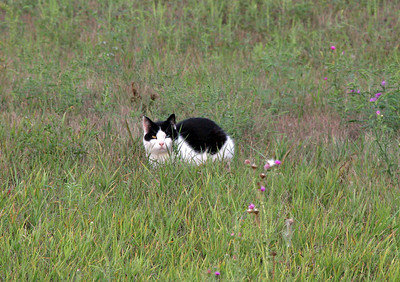 "I spotted this ""ninja kitty"" hiding in a field along a country road.  The eyes are different colors."