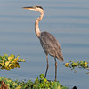 Great Blue Heron near the Rodman Dam