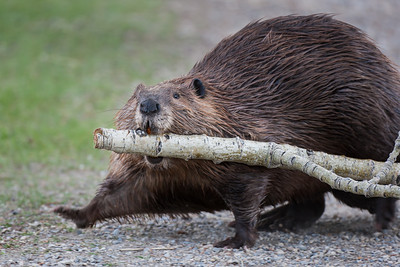 Busy beaver, Inglewood Bird Sanctuary, Calgary