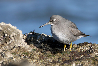 A Sleepy Wandering Tattler