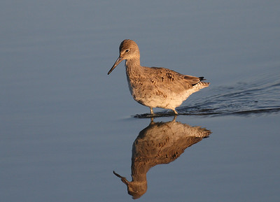 Willet in early morning light