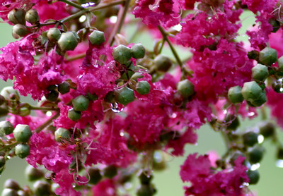 The Crepe Myrtle trees bloom along the lake in the summer.