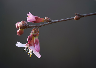 A blossom on a cherry tree near the lake in the early morning light.