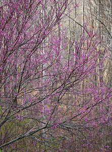 A redbud tree is colorful against the gray trees in the background.