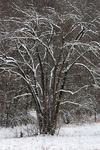 Snow emphasizes the shapes of the branches on this tree.