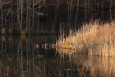 Late evening light illuminates these reeds on the lake.