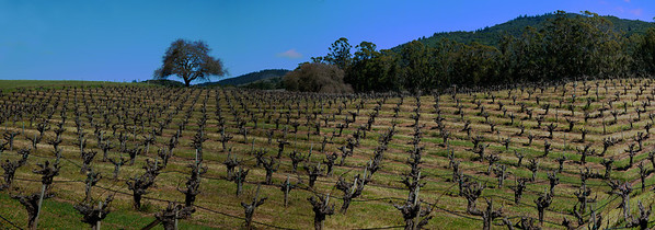 Panorama of an old zinfandel vineyard.  These grapes will produce a nice peppery zinfandel later this year.