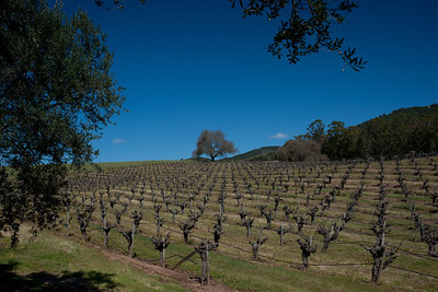 Old Zinfandel vines at the BR Cohn Winery just down the street from the Beltane Ranch