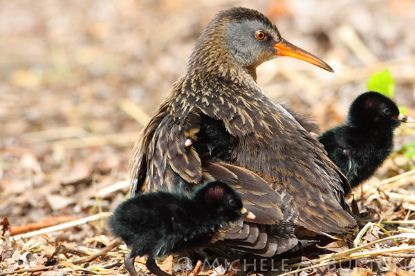 Virginia Rail with chicks