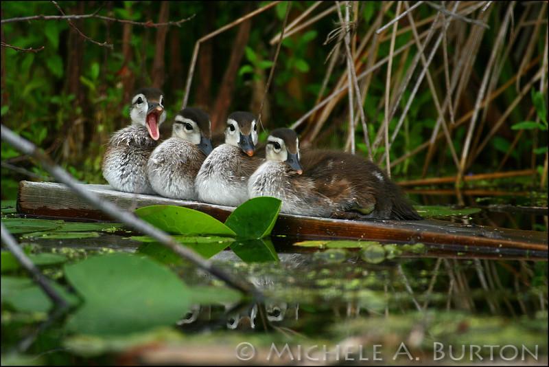 Wood duck ducklings in a row