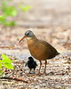 Virginia Rail with black downy chick