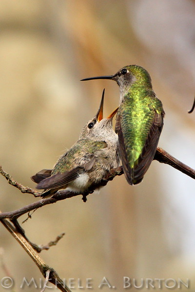 Newly fledged Anna's Hummingbird pleads with mother for food