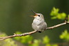 Recently fledged Anna's Hummingbird