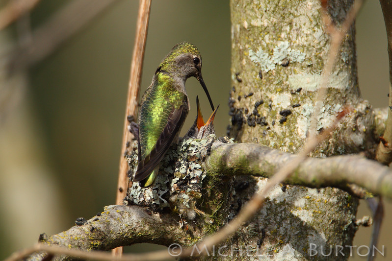 Anna's Hummingbird feeding its young at Magnuson Park in Seattle
