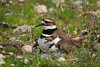 Killdeer adult with newly hatched chick - less than 2 hours!