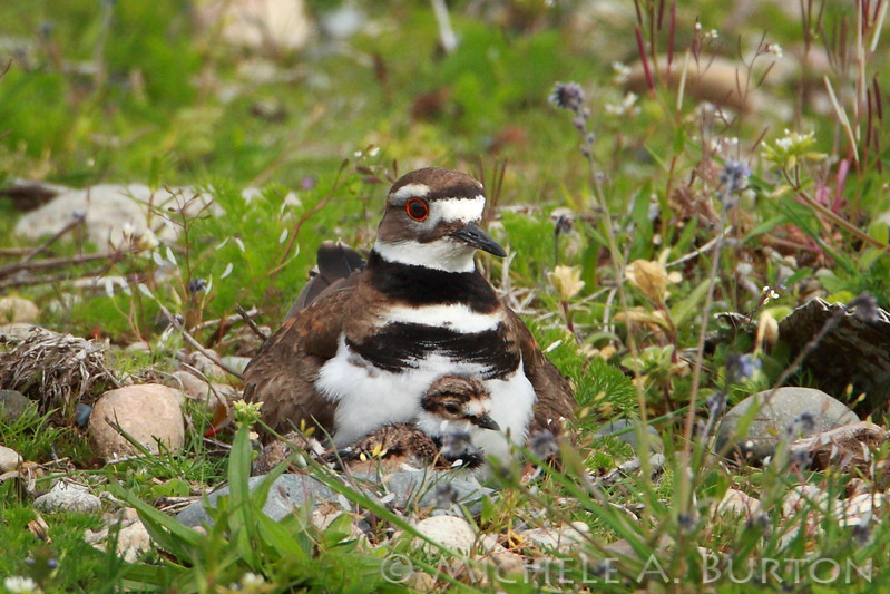 Adult Killdeer with newly hatched chick at the Thurston County Waste and Recovery Center