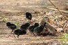 Virginia Rail with seven black down covered chicks