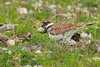Adult killdeer removing egg shell from nest after chick is newly hatched