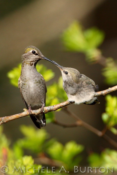Adult feeding recently fledged Anna's Hummingbird at Magnuson Park in Seattle