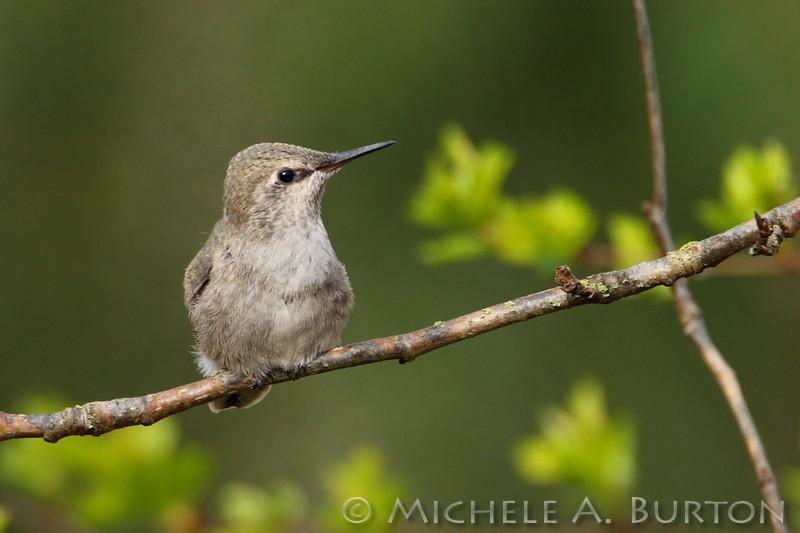 Recently fledged Anna's Hummingbird
