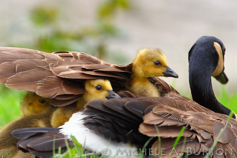 Canada Goose with goslings under wing