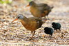 Adult Virginia Rails with black downy chicks