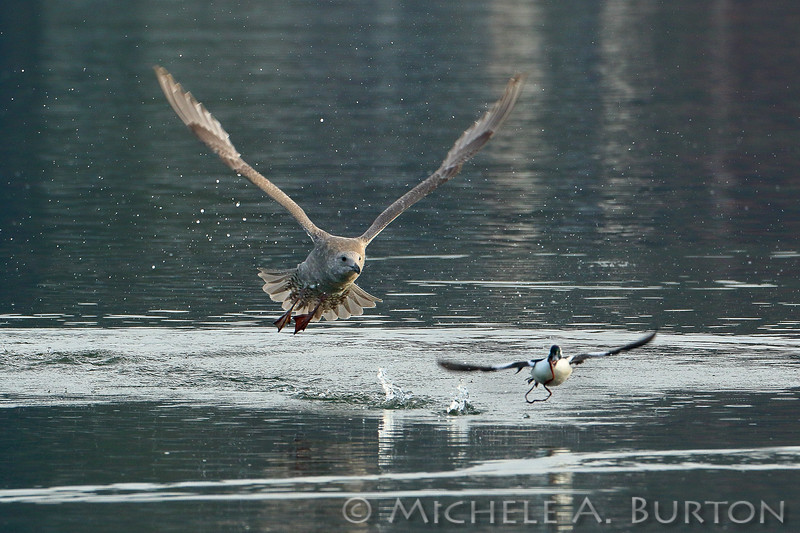 Gull chasing male Bufflehead, hoping to steal its meal
