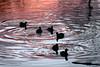 American Coots winter sunset Seattle's Arboretum