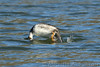 Juvenile male Barrow's Goldeneye makes a spectacular dive in Budd Inlet